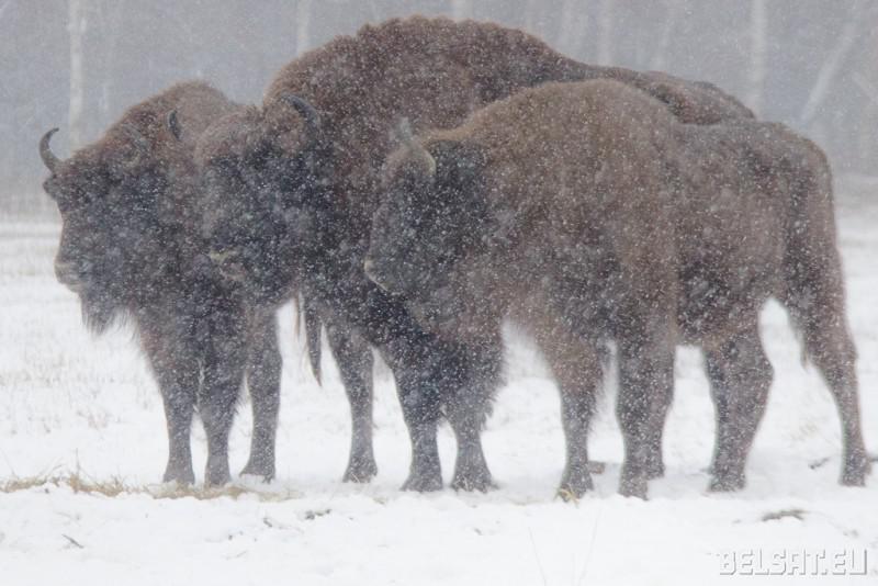 Lyasnya Zhyveliny sustrakayuts zimu u Magileuskim Zaasade_ 06