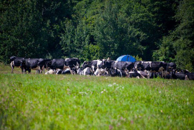 Под Гродно коровам на ферме подключили более качественную воду, чем людям?